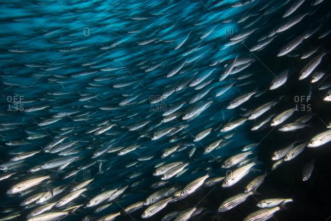 Shoal of sardines, Seymour, Galapagos, Ecuador, South America