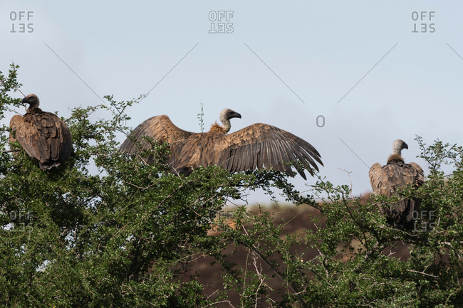 African white-backed vultures (Gyps africanus) on a tree top, Tsavo, Kenya