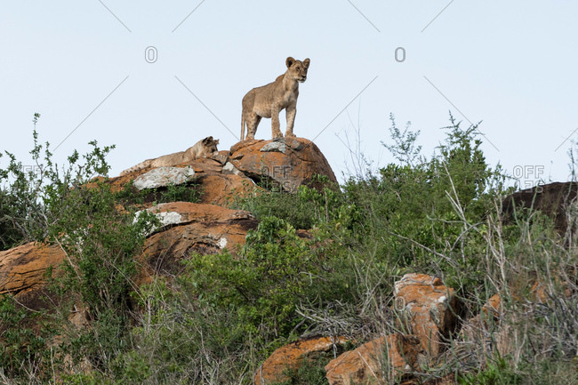 Two lion cubs (Panthera leo) on a Kopje known as Lion Rock in Lualenyi reserve, Tsavo, Kenya