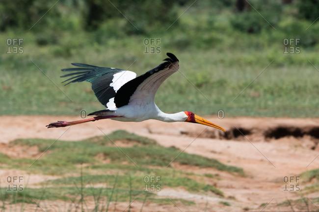 Yellow-billed stork (Mycteria ibis) in flight, Tsavo, Kenya
