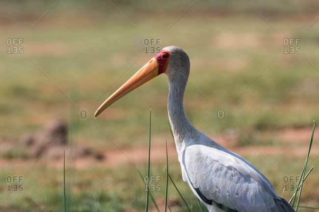Yellow-billed stork (Mycteria ibis), Tsavo, Kenya
