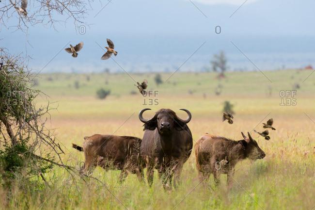 African buffalos (Syncerus caffer) on plain, Tsavo, Kenya