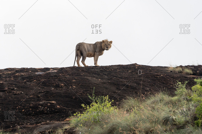 Portrait of short mane male lion (Panthera leo) standing on a Kopje known as Lion Rock in Lualenyi reserve, Tsavo, Kenya
