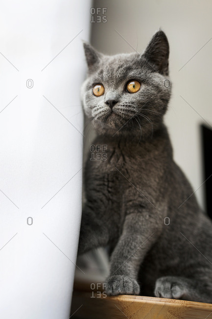 Cat perched on wooden table next to curtain staring out window