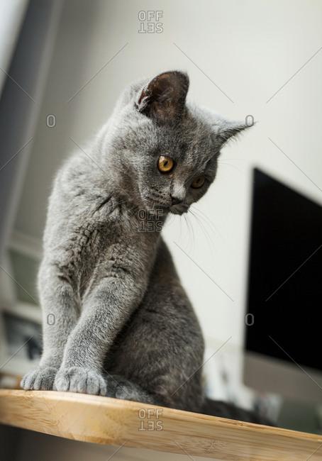 Short haired cat peering over edge oaf desk