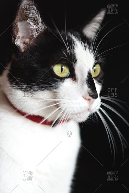 Close-up of indoor cat watching off camera