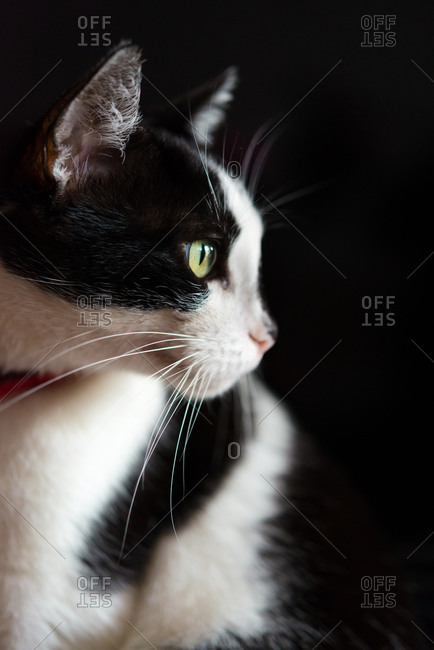 Side profile of calm black and white cat