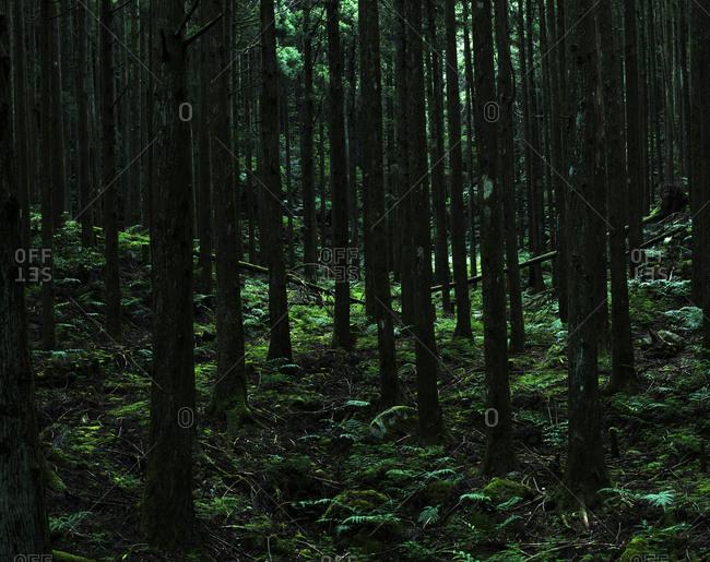 Mount Amagi forest near Yugashima on the Izu Peninsula in Japan