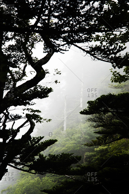 Forest landscape with trees and fog on Mt. Ishizuchi on Shikoku in Japan