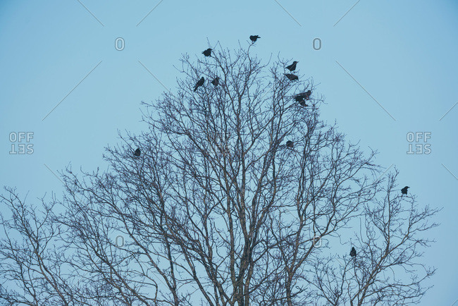 Silhouettes of crows perched on branches of winter trees.