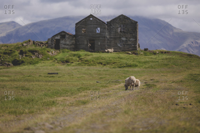 Sheep grazing on grass near derelict farmhouse in rural Iceland