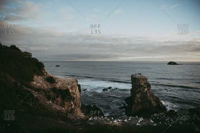 Rocky cliffs and gannet colony at Muriwai Beach, Auckland, New Zealand