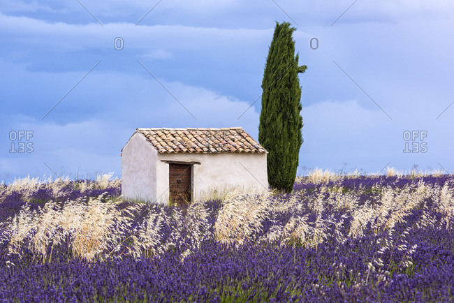 Old barn in the lavender field, Valensole, Provence, France