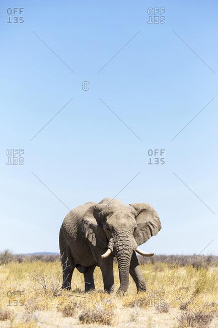 Lonely elephant in Etosha, Namibia, Africa