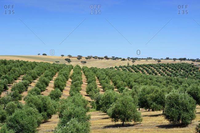 Olive groves near Mertola. Alentejo, Portugal