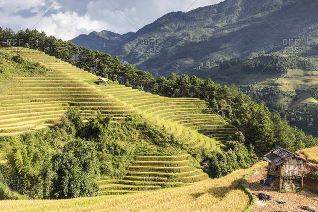 A stilt hut sits on a hillside of rice terraces at harvest time, Mu Cang Chai Yen Bai Province, Vietnam, South-East Asia