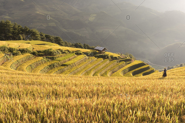 A farmer walks towards a stilt hut surrounded by rice terraces at harvest time, Mu Cang Chai Yen Bai Province, Vietnam, South-East Asia