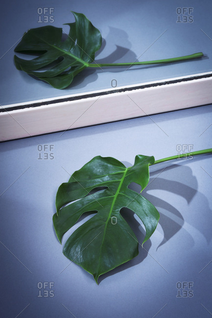 Leaf of a philodendron monstera lying in front of a mirror