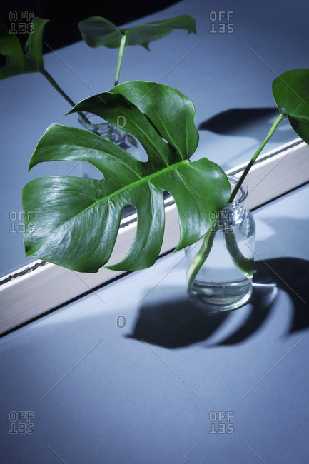 Leafs of a philodendron monstera in front of a mirror