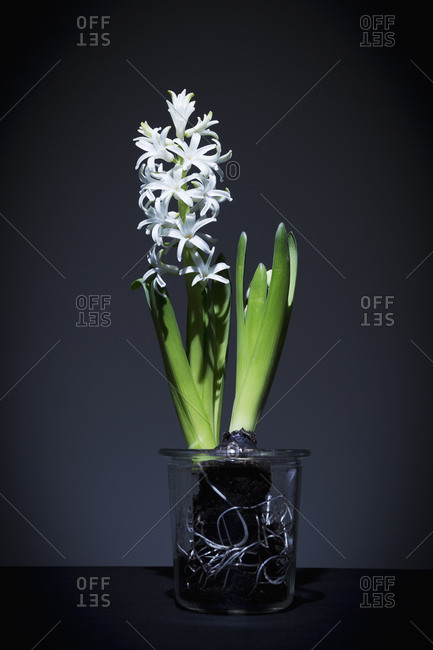 White hyacinth on table - Offset