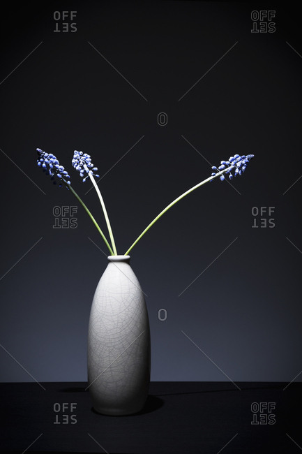 Three blue hyacinths in a vase on a table