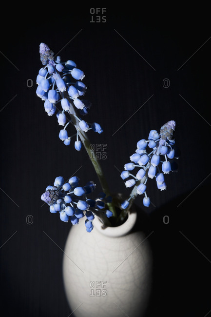 Close-up of three blue hyacinths in a vase