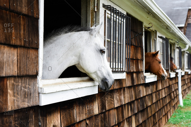 Horses looking out stable windows