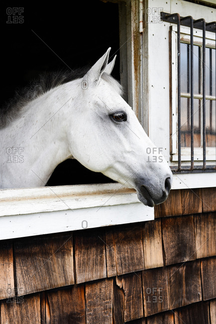 White horse looking out stable window