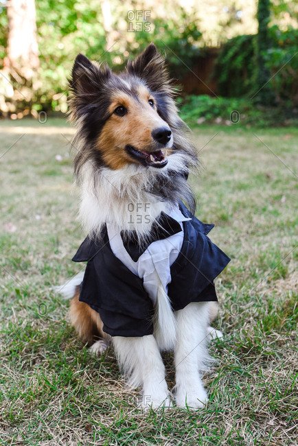 Dog wearing tuxedo costume