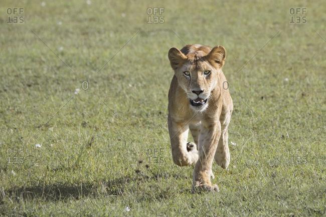 Wild lion on the Maasai Mara, Kenya
