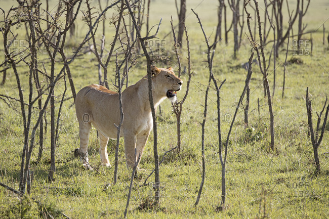 Wild female lion on the Maasai Mara, Kenya