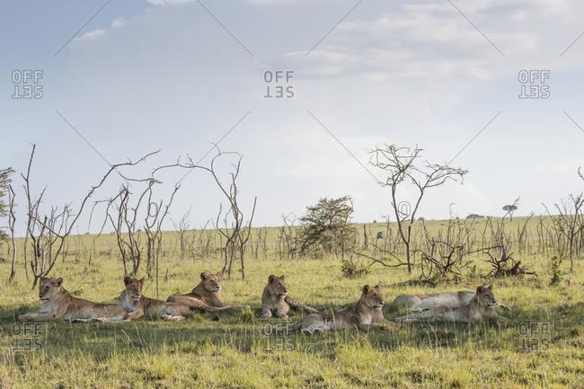 Wild lions on the Maasai Mara, Kenya