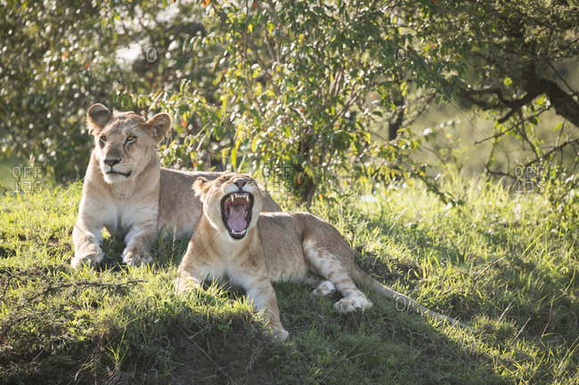 Two wild lions on the Maasai Mara, Kenya