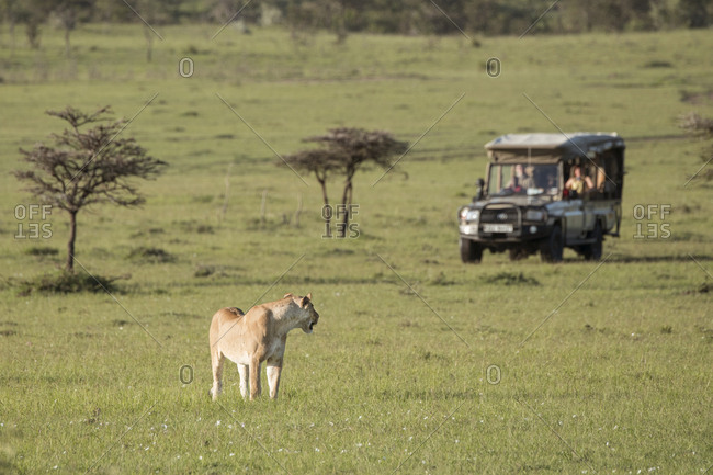 Wild lion on the Maasai Mara, Kenya, watching a tourist safari vehicle