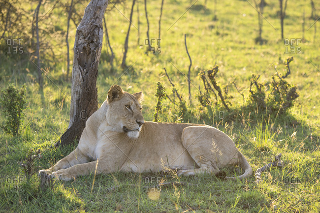 Female lion resting on the Maasai Mara, Kenya