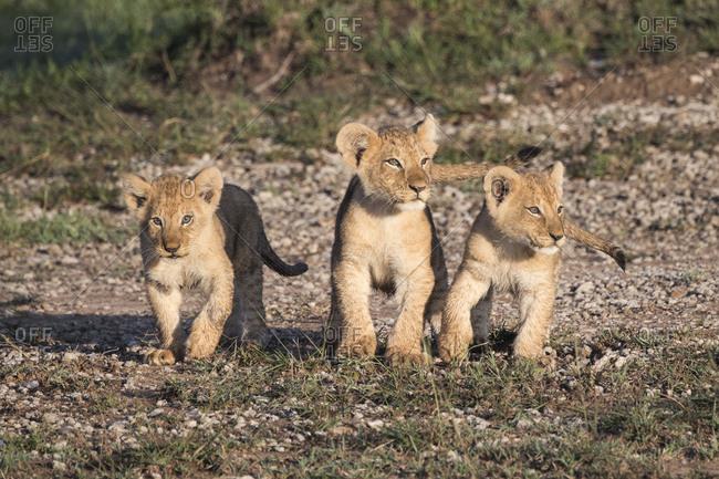 Wild lion cubs on the Maasai Mara, Kenya