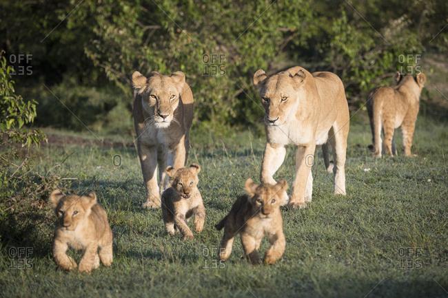 Pride of wild lions frolicking on the Maasai Mara, Kenya