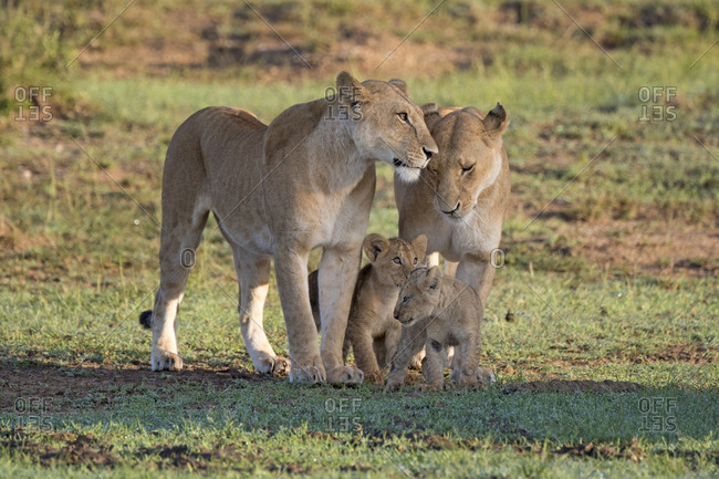 Pride of wild lions on the Maasai Mara, Kenya