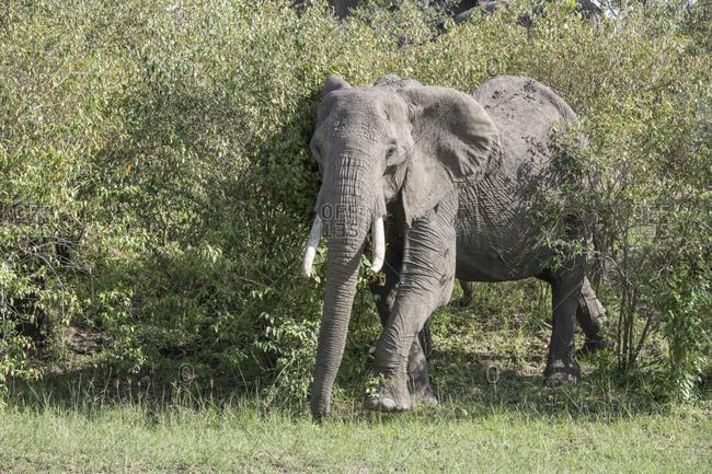 Elephant on the Maasai Mara, Kenya