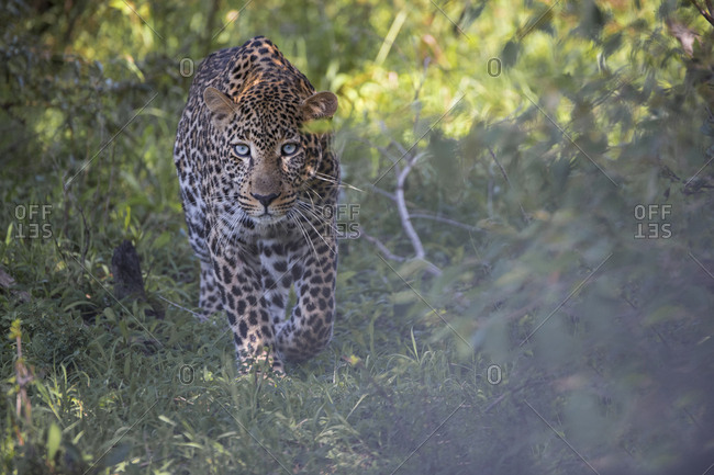 Male leopard walking through a forested area of the Maasai Mara, Kenya