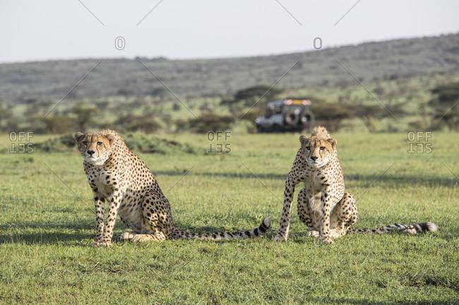 Cheetahs about to hunt on the Maasai Mara, Kenya