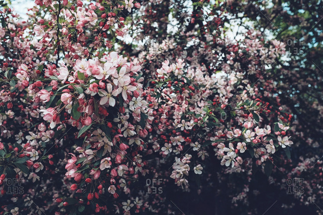 Blooming pink cherry blossoms on tree