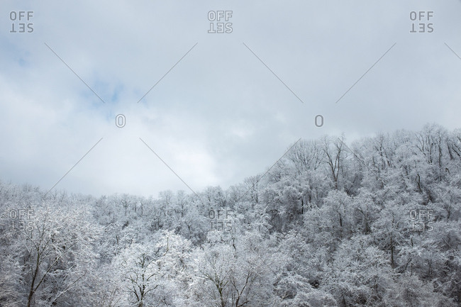 Snow-covered bare trees in forest