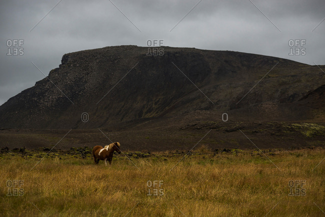 Solitary horse in a field near Grindavik, Iceland