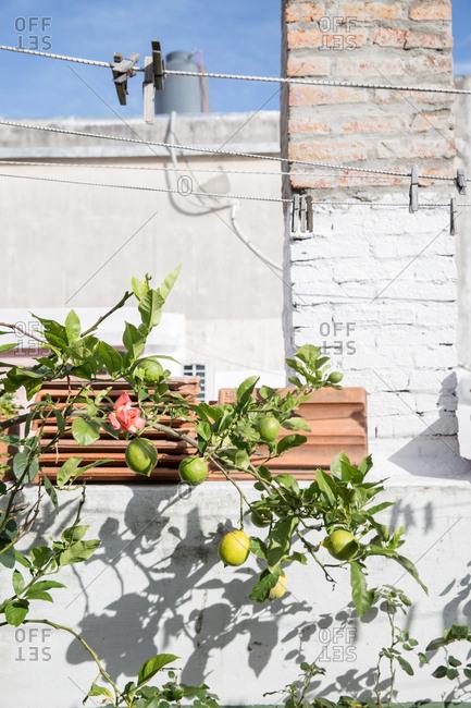 Lemons on a lemon tree on a sunny rooftop balcony