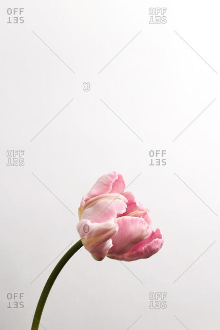 A single pink flower