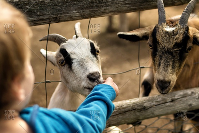 Close-up of boy feeding goat through fence at farm
