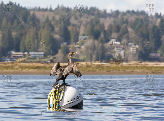 Puget Sound, Washington, USA - March 19, 2017: Cormorant dries wings perched on mooring buoy