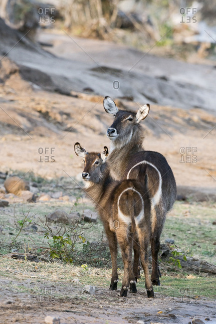 Chobe River, Botswana, Africa, Mother and young Waterbuck on the banks of the Chobe River