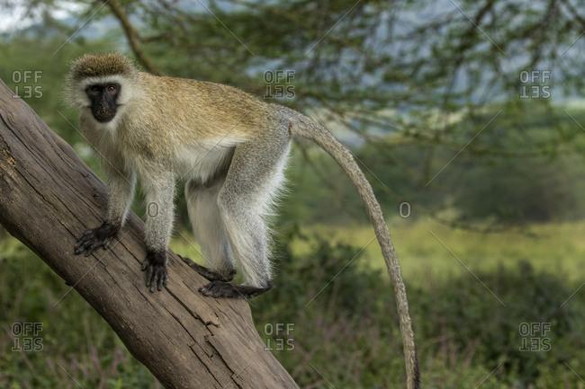 Africa, Kenya, Masai Mara National Reserve, Vervet monkey on tree
